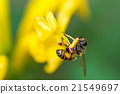 little bee on yellow flower 21549697