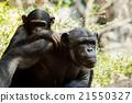 黑猩猩 哺乳動物 猭 21550327