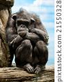 黑猩猩 哺乳動物 類人猿 21550328