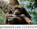 黑猩猩 哺乳動物 類人猿 21550329