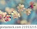 almond, bloom, blossom 21553215