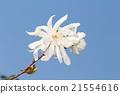 star, magnolia, magnoliaceae 21554616