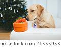 Labrador retriever dog looking at Christmas gift 21555953