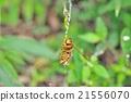 꿀벌, 거미줄, 장수 말벌 21556070