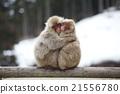 日本獼猴 動物 擁抱 21556780