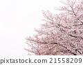 樱花 樱桃树 朦胧的春天天气 21558209