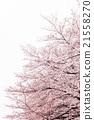 樱花 樱桃树 朦胧的春天天气 21558270