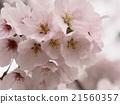樱花 樱桃树 樱花盛开 21560357