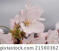 樱花 樱桃树 樱花盛开 21560362