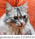 portrait of a norwegian cat 21560430