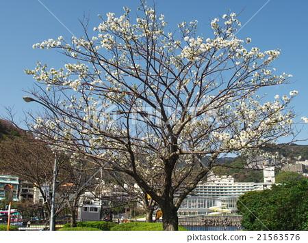 Cherry blossoms at Atami Port 21563576