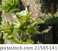 荷蘭mimagna白花 21565141