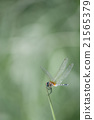 Dragonfly on Tip of Grass 21565379