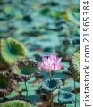Lotus Flower Blossoming under Strong Sunlight 21565384