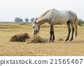 male horse eating dry straw in rural field 21565467