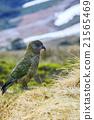 close up of kea birds new zealand 21565469