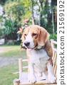 cute beagle dog boy looking 21569192