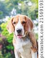 cute beagle dog boy looking 21569193