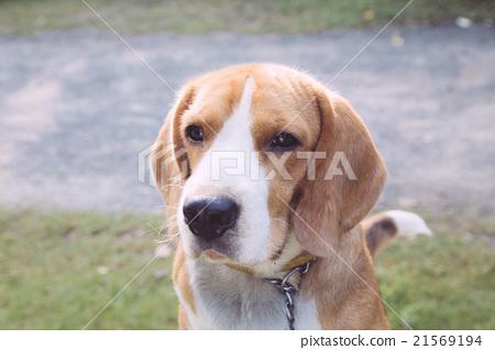 nice beagle dog boy looking 21569194