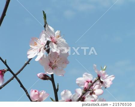 ume, japanese plum, ume tree 21570310