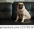 Dog puppy pug sad and sit on black sofa 21578516