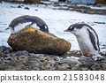Adelie penguin lying on rock beside another 21583048