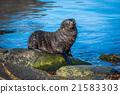 Antarctic fur seal pup on mossy rock 21583303
