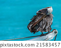 Brown pelican preening itself on ship winch 21583457