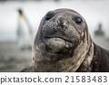 Close-up of elephant seal with penguins behind 21583483