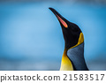 Close-up of king penguin with neck stretched 21583517
