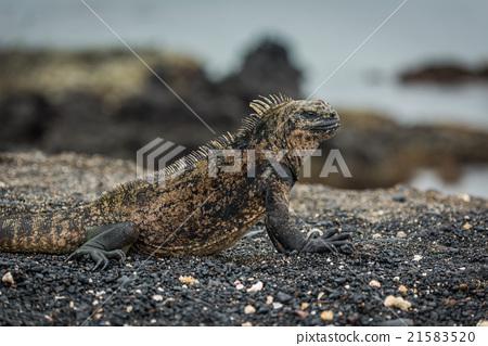 Close-up of marine iguana lying on beach 21583520