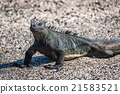 Close-up of marine iguana on sandy beach 21583521