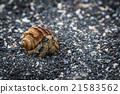 Semi-terrestrial hermit crab walking along shingle 21583562