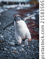 Funny adelie penguin chick running on shingle 21583565
