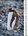 Gentoo penguin standing on grey shingle beach 21583634