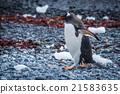 Gentoo penguin waddling along seaweed-strewn shing 21583635