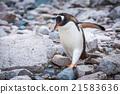 Gentoo penguin waddling over rocks on beach 21583636