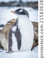 Gentoo penguin with turned head on snow 21583638