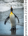 King penguin looking up on wet beach 21583784