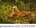 Land iguana with open mouth among bushes 21591085