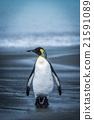 Lone penguin walking along wet sandy beach 21591089