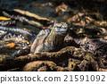 Marine iguana among roots staring at camera 21591092