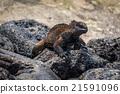 Marine iguana climbing over grey volcanic rock 21591096