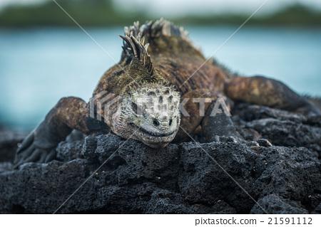 Marine iguana on volcanic rocks beside sea 21591112