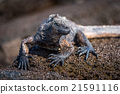 Marine iguana perched on wet brown rock 21591116