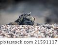 animal, iguana, marine 21591117