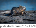 Marine iguana turning head on volcanic rock 21591120