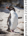 Rockhopper penguin posing on rock in sunshine 21591144