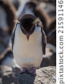 Rockhopper penguin standing on rock looking down 21591146