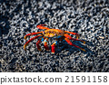 Sally Lightfoot crab on black volcanic rock 21591158